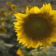 Sunflower — Stock Photo #31937575