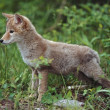 Stock Photo: Coyote (Canis Latrans) Puppy