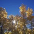 Sun Peeps Through Autumn Cottonwood Trees, San Diego, California, Usa — Stock Photo