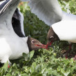 Arctic Terns (Sterna Paradisaea) Fighting Over A Fish Stolen From A Puffin — Stock Photo