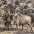 Stock Photo: Migrating Herd Of Wildebeest, Masai Mara, Kenya, Africa