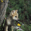 Wolf Puppy (Canis Latrans) — Stock Photo