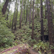 Coastal Redwood Forest Of Santa Cruz County — Stock Photo
