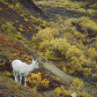 Stock Photo: Dall Sheep (Orvis Dalli), Ewe With Lamb On Slope