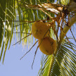Yellow Coconuts On A Palm Tree — Stockfoto