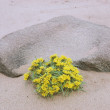 Stock Photo: Flowers And Mono Artifact In Sand Of Los Medanos, California, Usa