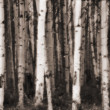 Aspen Trees In Jasper Forest — Stock Photo
