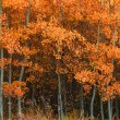 Stock Photo: Deciduous Aspen Forest In Fall