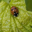 Foto Stock: Ladybug On A Leaf