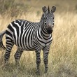 Zebra Standing In Grasslands — Stock Photo