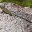 Stock Photo: Side-Blotched Lizard Basking On Boulder