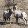Two Bighorn Sheep (Ovis Canadensis) — Stock Photo