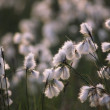 Close-Up Of Bog Cotton, Ireland — Stock Photo