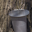 Traditional Maple Tree Sap Collecting Bucket Attached To A Maple Tree At Springtime — Stock Photo