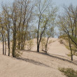 Trees In A Sand Dune — Stock Photo
