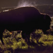 Bison on the nature — Stock Photo