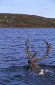 Caribou Swimming Across Lake — Stock Photo