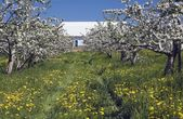 Apple Tree Orchard And Barn At Spring Time — Stock Photo