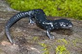 Salamandra negra moteada (aneides flavipunctatus flavipunctatus) — Foto de Stock