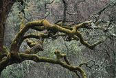 Moss Covered Limbs Of An Oak Tree In A Chaparral-Oak Woodland — Stock Photo
