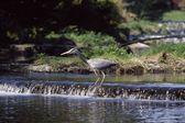 Grey Heron In Middle Of Stream, Ireland — Stock Photo