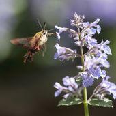 Hummingbird Hovering By Blossom — Stock Photo
