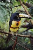 Collared Aracari (Pteroglossus Torquatus)On Tree Branch, Belize — Stock Photo