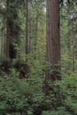 Verdant Undergrowth, Redwood Forest — Stock Photo