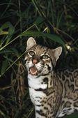 Ocelot (Leopardus Pardalis), Belize — Stock Photo