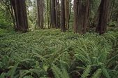 Ferns Cover Floor Of Redwood Forest, California, Usa — Stock Photo