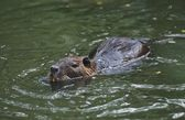 Nutria (Myocastor Coypus) Swimming In Water — Stock Photo