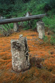 Dead Stumps And Logs In Forest — Stock Photo