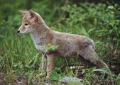 Coyote (Canis Latrans) Puppy — Stock Photo
