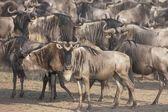 La migrazione mandria di gnu, masai mara, kenya, africa — Foto Stock
