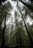 Cathedral Grove In Macmillan Provincial Park — Stock Photo