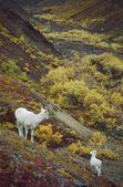 Dall Sheep (Orvis Dalli), Ewe With Lamb On Slope — Stock Photo