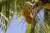 Yellow Coconuts On A Palm Tree — Stock Photo