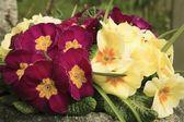Primulas (Primulaceae) — Stock Photo