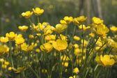 Området för gula smörblommor — Stockfoto