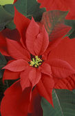 Red poinsettia flower — Stock Photo
