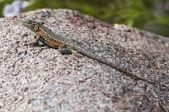 Side-Blotched Lizard Basking On A Boulder — Stock Photo