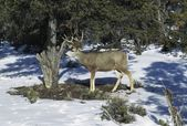 Mule Deer (Odocoileus Hemionus), Grand Canyon National Park, Alaska — Stock Photo