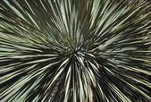 Yucca Spines — Stock Photo