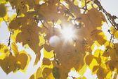 Golden Autumn Leaves On Tree, Calgary, Alberta, Canada — Stock Photo