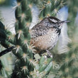 Stock Photo: Cactus Wren (Campylorhynchus Brunneicapillus) On ChollCactus