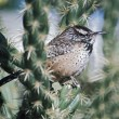 Cactus Wren (Campylorhynchus Brunneicapillus) On Cholla Cactus — Stock Photo