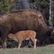 Bison Nursing Young Calf (Bison Bison) — Stock Photo