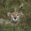 Cheetah Reclining In Vegetation, East Africa — Stock Photo