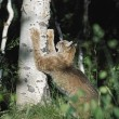 Lynx (Felis Lynx) Scratching Claws On Aspen Tree — Stock Photo