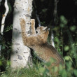 Stock Photo: Lynx (Felis Lynx) Scratching Claws On Aspen Tree